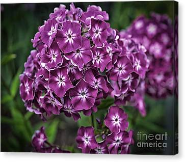 Old Fashion Phlox Canvas Print by Linda Troski