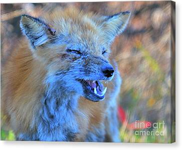 Canvas Print featuring the photograph Old Fox by Debbie Stahre