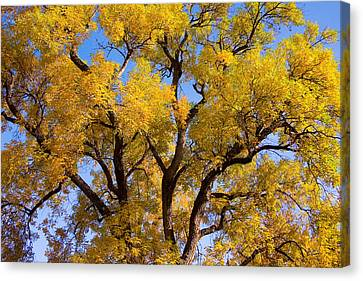 Old Giant  Autumn Cottonwood Canvas Print by James BO  Insogna
