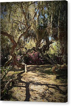 Old Live Oak Canvas Print by Kendall Tabor