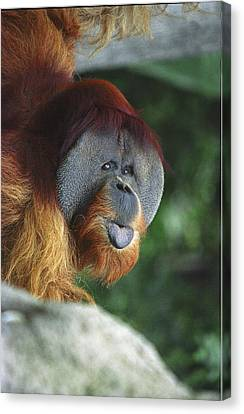 Old Man Of The Forest Canvas Print by Greg Slocum