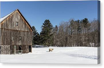 Old New England Barn And Cow In Winter Canvas Print