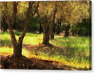 Old Olive Grove Canvas Print by Frank Wilson