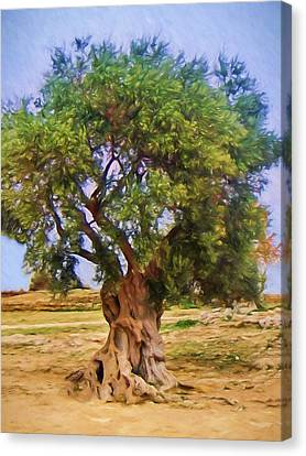 Old Olive Tree Canvas Print