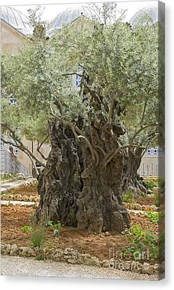 Old Olive Trees Gethsemane Jerusalem Canvas Print by Ilan Rosen