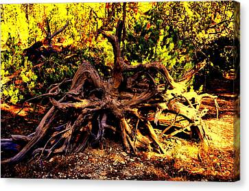 Old Roots Canvas Print by Aron Chervin