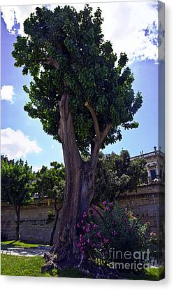 Old Tree In Palermo Canvas Print by Madeline Ellis
