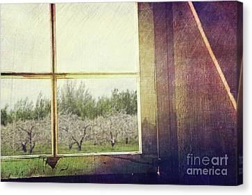 Old Window Looking Out To Apple Orchard Canvas Print by Sandra Cunningham