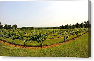 Vines Canvas Print - Old York Winery by Brian Manfra