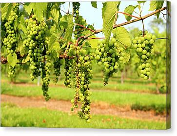 Vineyard Canvas Print - Old York Winery Grapes by Brian Manfra