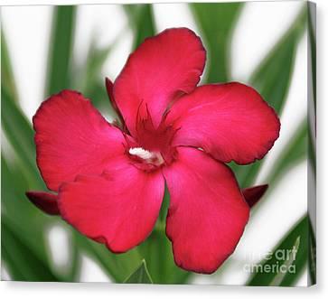 Oleander Blood-red Velvet 1 Canvas Print