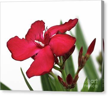 Canvas Print featuring the photograph Oleander Blood-red Velvet 2 by Wilhelm Hufnagl