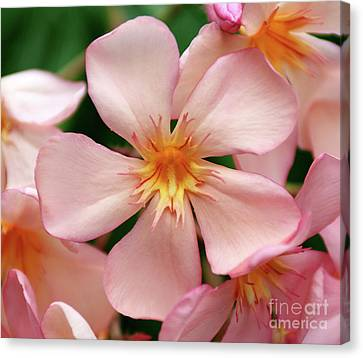 Canvas Print featuring the photograph Oleander Dr. Ragioneri 1 by Wilhelm Hufnagl