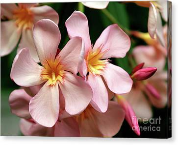 Canvas Print featuring the photograph Oleander Dr. Ragioneri 2 by Wilhelm Hufnagl