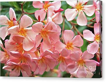 Canvas Print featuring the photograph Oleander Dr. Ragioneri 5 by Wilhelm Hufnagl