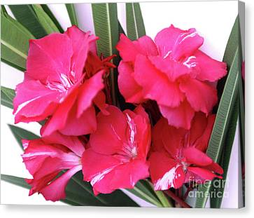 Canvas Print featuring the photograph Oleander Geant Des Batailles 1 by Wilhelm Hufnagl