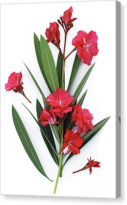 Canvas Print featuring the photograph Oleander Geant Des Batailles 2 by Wilhelm Hufnagl