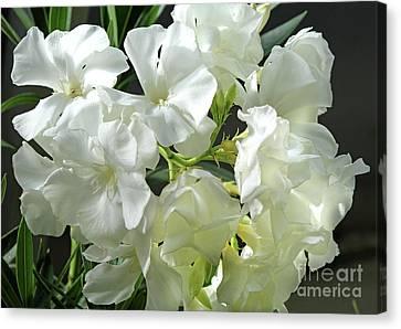 Oleander Mont Blanc 2 Canvas Print