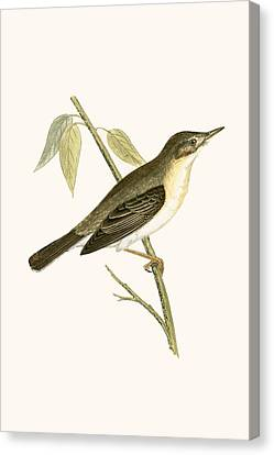 Olivaceous Warbler Canvas Print by English School