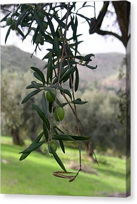 Olive Grove Sicily Canvas Print
