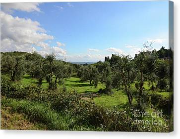 Olive Groves In Tuscany Italy Canvas Print