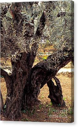 Olive Tree In The Garden Of Gethsemane Canvas Print by Thomas R Fletcher