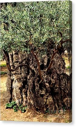 Olive Tree The Garden Of Gethsemane Canvas Print by Thomas R Fletcher
