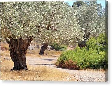 Olive Trees Canvas Print