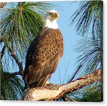 Olympia Street Eagle Canvas Print by Sandy Poore