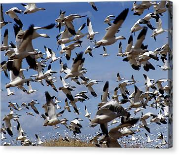 On A Mission Bosque Del Apache Canvas Print by Kurt Van Wagner