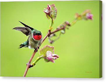 Male Hummingbird Canvas Print - On A Wing And A Prayer by Christina Rollo