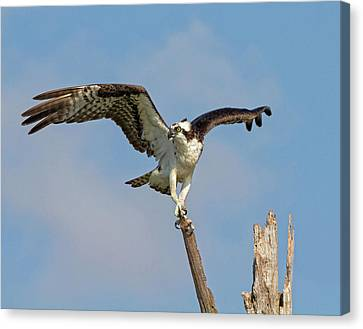 Canvas Print featuring the photograph On The Lookout by Robert Pilkington