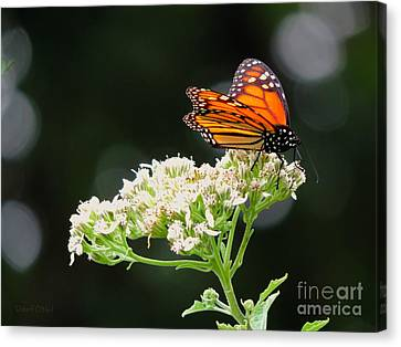Once Upon A Butterfly 005 Canvas Print by Robert ONeil