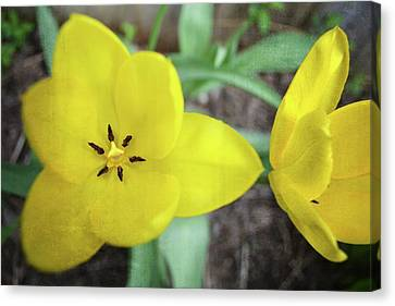 One And A Half Yellow Tulips Canvas Print by Michelle Calkins