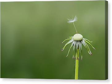 Canvas Print featuring the photograph One Dandy by Bess Hamiti