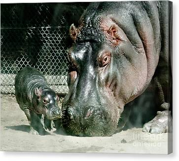One Day Old Baby Hippo And Mom Canvas Print
