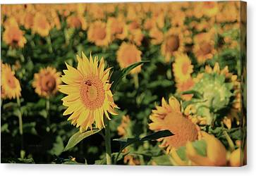 Canvas Print featuring the photograph One In A Million Sunflowers by Chris Berry