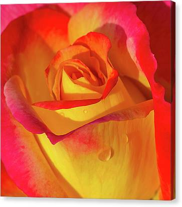 Canvas Print featuring the photograph One Macro Rose by Julie Palencia