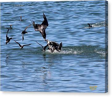 One Pelican Diving  Canvas Print