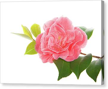 One Pink Camellia Canvas Print by Sheila Fitzgerald