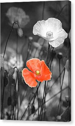 Shadows And Light Canvas Print - One Red Poppy by Bonnie Bruno