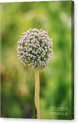 Onion Flower,onion Plant Head Canvas Print by Mohamed Elkhamisy