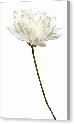 One White One Canvas Print by Dan Holm