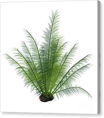 Onychiopsis Seed Plant Canvas Print