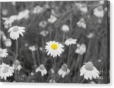 Canvas Print featuring the photograph Oopsy Daisy by Benanne Stiens