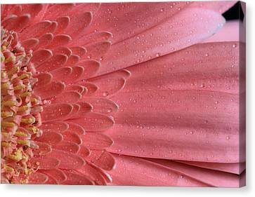 Oopsy Daisy Canvas Print by Shelley Neff
