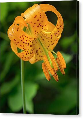 Canvas Print featuring the photograph Open Tiger Lily by Jean Noren