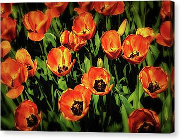 Open Wide - Tulips On Display Canvas Print by Tom Mc Nemar