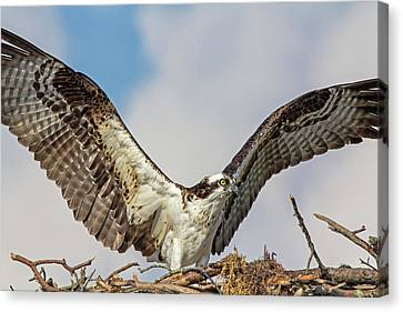 Canvas Print featuring the photograph Open Wings by Robert Pilkington