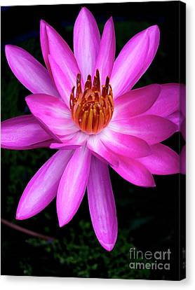 Opening - Early Morning Bloom Canvas Print by Kerryn Madsen-Pietsch